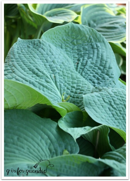 hosta with puckered leaves