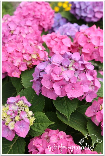 hydrangea pink and purple