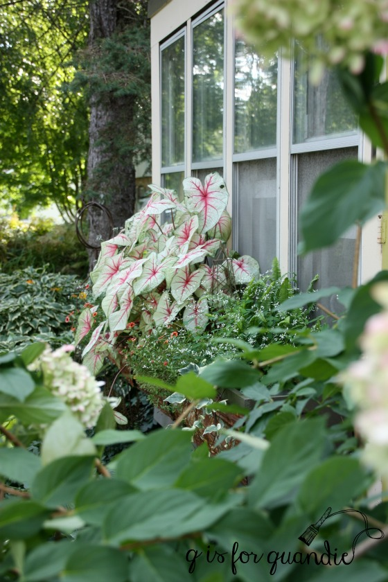 late summer caladium